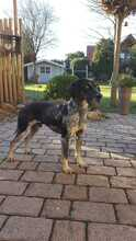 ELMO, Hund, Pointer-Mix in Wertach - Bild 7