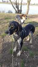 ELMO, Hund, Pointer-Mix in Wertach - Bild 9