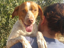 VANGOGH, Hund, Pointer-Mix in Spanien - Bild 2