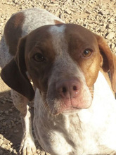 VANGOGH, Hund, Pointer-Mix in Spanien - Bild 7