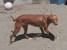 MARTINEZ, Hund, Podenco-Mix in Spanien - Bild 2