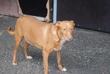 MARTINEZ, Hund, Podenco-Mix in Spanien - Bild 4