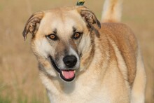 SHARO, Hund, Labrador-Golden Retriever-Mix in Lohra-Reimershausen - Bild 1