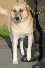 SHARO, Hund, Labrador-Golden Retriever-Mix in Lohra-Reimershausen - Bild 2