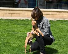 RAMIRO, Hund, Podenco-Pinscher-Mix in Spanien - Bild 11