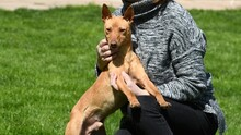 RAMIRO, Hund, Podenco-Pinscher-Mix in Spanien - Bild 12