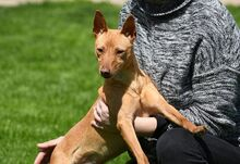 RAMIRO, Hund, Podenco-Pinscher-Mix in Spanien - Bild 13