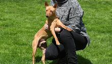 RAMIRO, Hund, Podenco-Pinscher-Mix in Spanien - Bild 14