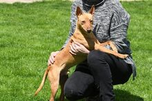 RAMIRO, Hund, Podenco-Pinscher-Mix in Spanien - Bild 15