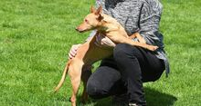 RAMIRO, Hund, Podenco-Pinscher-Mix in Spanien - Bild 16