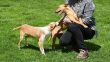 RAMIRO, Hund, Podenco-Pinscher-Mix in Spanien - Bild 17