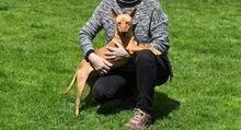 RAMIRO, Hund, Podenco-Pinscher-Mix in Spanien - Bild 19
