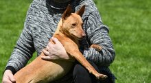 RAMIRO, Hund, Podenco-Pinscher-Mix in Spanien - Bild 20