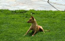 RAMIRO, Hund, Podenco-Pinscher-Mix in Spanien - Bild 21