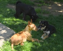 RAMIRO, Hund, Podenco-Pinscher-Mix in Spanien - Bild 23