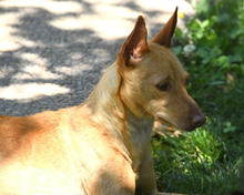 RAMIRO, Hund, Podenco-Pinscher-Mix in Spanien - Bild 27