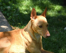 RAMIRO, Hund, Podenco-Pinscher-Mix in Spanien - Bild 28