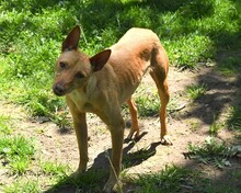 RAMIRO, Hund, Podenco-Pinscher-Mix in Spanien - Bild 3