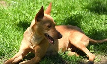 RAMIRO, Hund, Podenco-Pinscher-Mix in Spanien - Bild 31