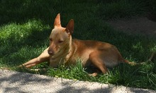 RAMIRO, Hund, Podenco-Pinscher-Mix in Spanien - Bild 32