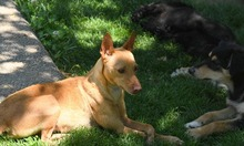 RAMIRO, Hund, Podenco-Pinscher-Mix in Spanien - Bild 35