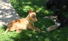 RAMIRO, Hund, Podenco-Pinscher-Mix in Spanien - Bild 37