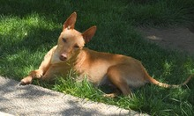 RAMIRO, Hund, Podenco-Pinscher-Mix in Spanien - Bild 38