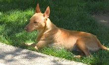 RAMIRO, Hund, Podenco-Pinscher-Mix in Spanien - Bild 39