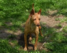 RAMIRO, Hund, Podenco-Pinscher-Mix in Spanien - Bild 41