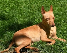 RAMIRO, Hund, Podenco-Pinscher-Mix in Spanien - Bild 44