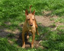RAMIRO, Hund, Podenco-Pinscher-Mix in Spanien - Bild 46