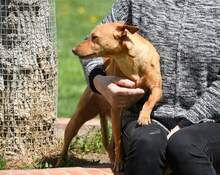 RAMIRO, Hund, Podenco-Pinscher-Mix in Spanien - Bild 5