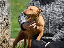 RAMIRO, Hund, Podenco-Pinscher-Mix in Spanien - Bild 6