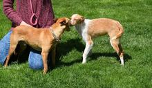 RAMIRO, Hund, Podenco-Pinscher-Mix in Spanien - Bild 8