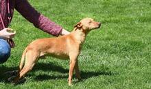 RAMIRO, Hund, Podenco-Pinscher-Mix in Spanien - Bild 9
