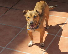 PRINCE, Hund, Chihuahua-Mix in Spanien - Bild 2