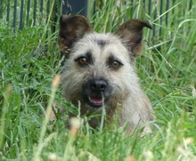 FLOR, Hund, Terrier-Mix in Portugal - Bild 3