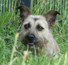 FLOR, Hund, Terrier-Mix in Portugal - Bild 5