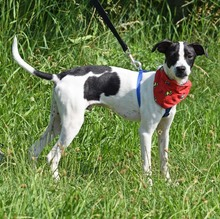 COOKIE, Hund, Jack Russell Terrier-Mix in Moers - Bild 2