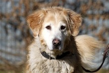 TEQUILA, Hund, Golden Retriever in Neuhausen - Bild 2