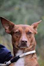 PACINO, Hund, Podenco-Mix in Spanien - Bild 1