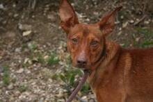 PACINO, Hund, Podenco-Mix in Spanien - Bild 2
