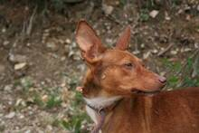 PACINO, Hund, Podenco-Mix in Spanien - Bild 3