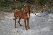 PACINO, Hund, Podenco-Mix in Spanien - Bild 4