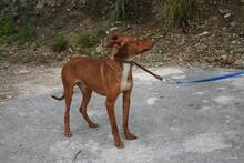 PACINO, Hund, Podenco-Mix in Spanien - Bild 5