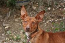 PACINO, Hund, Podenco-Mix in Spanien - Bild 6