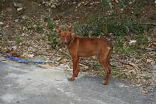 PACINO, Hund, Podenco-Mix in Spanien - Bild 7