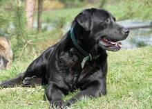 TOBI, Hund, Labrador-Mix in Gefrees - Bild 3