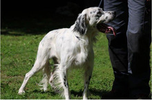 FLASH, Hund, English Setter in Italien - Bild 2