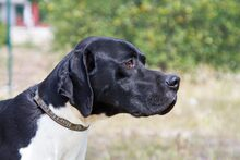 ALBERTO, Hund, Pointer in Spanien - Bild 1